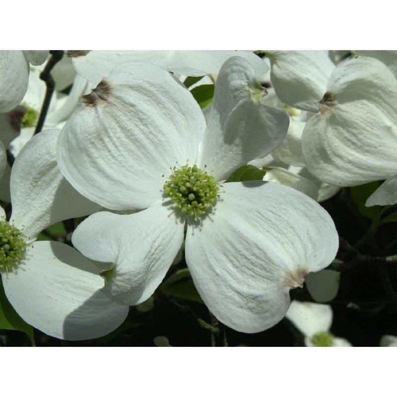 Cornus florida ( Blumenhartriegel )
