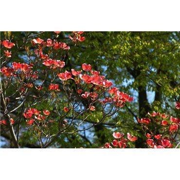 Cornus florida Cherokee Chief (cornouiller à grandes fleurs de Floride)