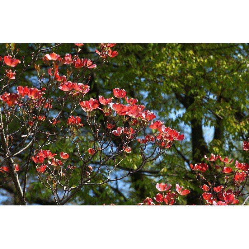 Cornus Florida Cherokee Chief Amerikanischer Blumenhartriegel