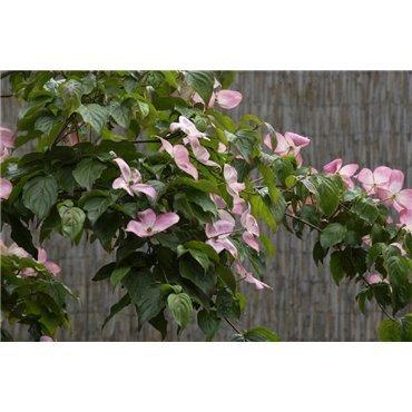 Cornus kousa Satomi ( japanischer Blumenhartriegel)