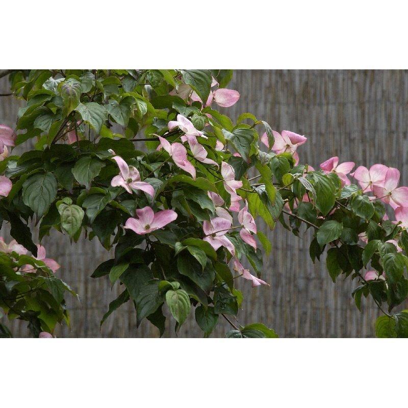 Blumenhartriegel Cornus kousa Frühlingsblüher 80-100cm