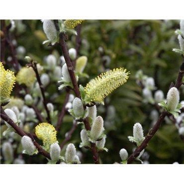 Salix hastata Wehrhahnii (Engadin-Weide )