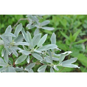 Salix helvetica (Schweizer Weide)