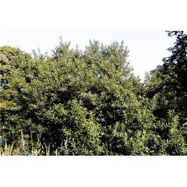 Salix gracilistyla Melanostachys (saule à châtons noirs)