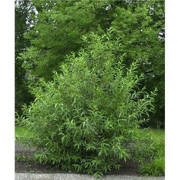 Salix pentandra (saule à feuille de laurier)