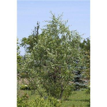Salix purpurea (saule pourpre)