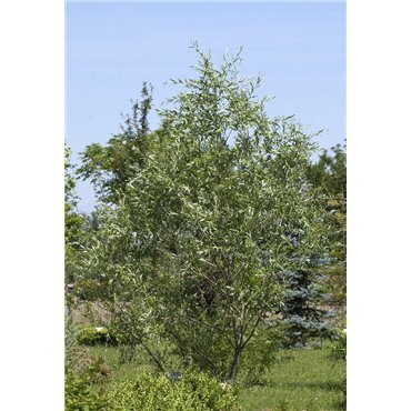 Salix purpurea ( Purpurweide)