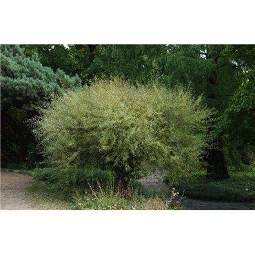 Salix purpurea  Nana ( Zwerg-Purpurweide)