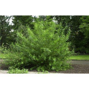 Salix viminalis (saule osier, osier blanc)
