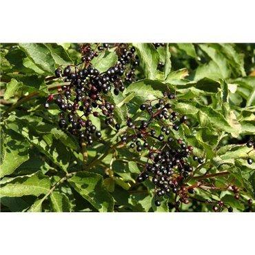 Sambuscus nigra (schwarzer Holunder )