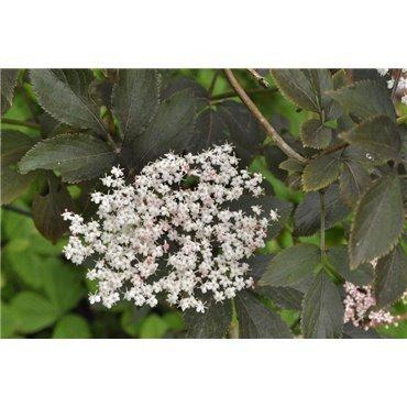 Sambuscus nigra Purpurea  (schwarzer Holunder )