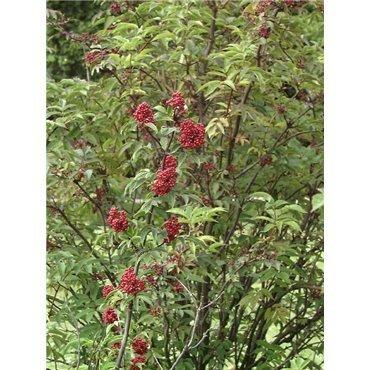 Sambuscus racemosa ( roter Holunder )