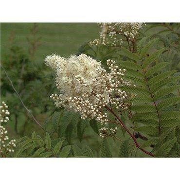 Sorbaria sorbifolia ( Sibirische Fiederspier )