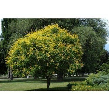 Koelreuteria paniculata ( Rispiger Blasenbaum )