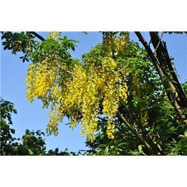 Laburnum alpinum (Cytise)
