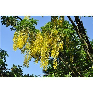 Laburnum alpinum ( Alpengoldregen )