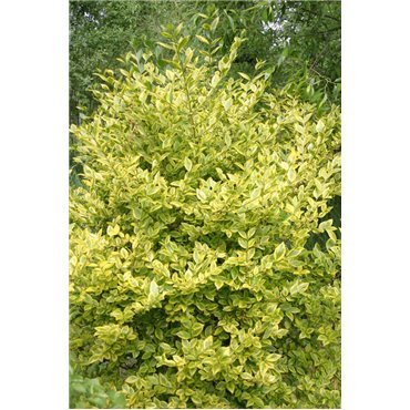 Ligustrum ovalifolium Aureum ( Goldliguster )