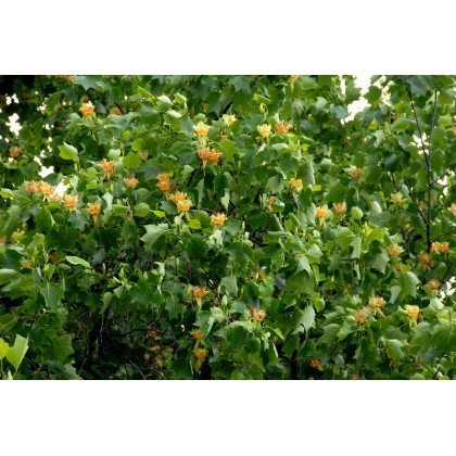 Liriodendron tulipifera ( Tulpenbaum )