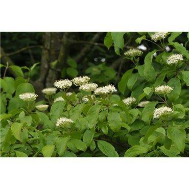 Cornus sanguinea (cornouiller sanguin)
