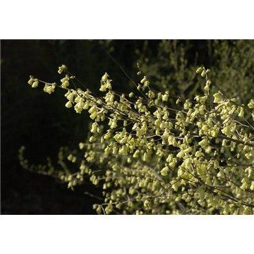 Corylopsis pauciflora ( Scheinhasel)