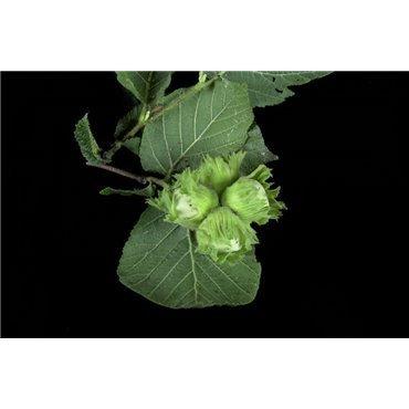 Corylus maxima ( grossfruchtige Haselnuss )