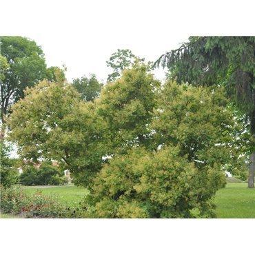 Cotinus coggygria (arbre à perruque)