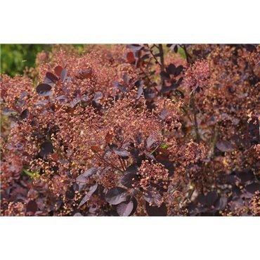 Cotinus coggygria Royal Purple (arbre à perruque)