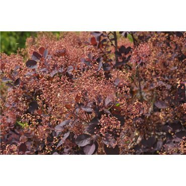 Cotinus coggygria  Royal Purple ( Perückenstrauch )