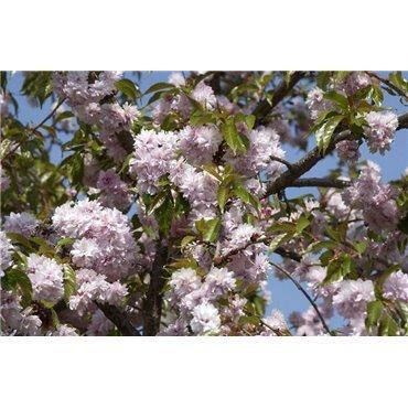 Prunus serrulata Kiku-shidare sur tige (cerisier à fleurs pleureur) *