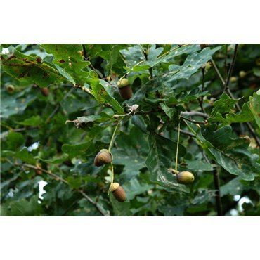 Quercus robur auf Stamm ( Stieleiche )