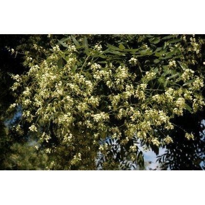 Sophora japonica auf Stamm ( Japanischer Schnurbaum )