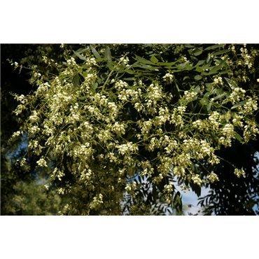 Sophora japonica sur tige (sophora du japon, arbre des pagodes)