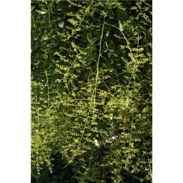 Sophora japonica Pendula sur tige (sophora pleureur)