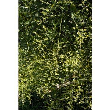 Sophora japonica Pendula auf Stamm ( Hänge-Schnurbaum )