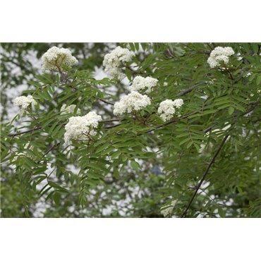 Sorbus aucuparia sur tige (sorbier des oiseaux) *