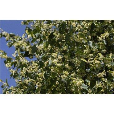 Tilia cordata sur tige (tilleul à petites feuilles, tilleul d'hiver)