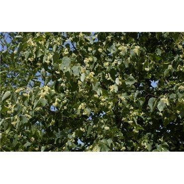 Tilia cordata Greenspire sur tige (tilleul d'hiver)