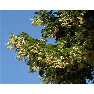 Tilia x europaea Euchlora sur tige (tilleul de crimée)