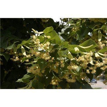 Tilia platyphyllos sur tige (tilleul à grandes feuilles)