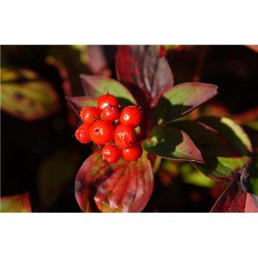 Cornus canadensis (Kanadischer Hartriegel )