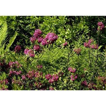 Kalmia angustifolia Rubra (laurier)