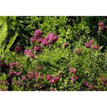 Kalmia angustifolia Rubra ( Schmalblättrige Lorbeerrose )