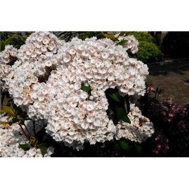 Kalmia latifolia ( Breitblättriger Berglorbeer )