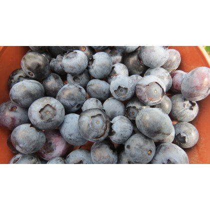 Vaccinium corymbosum Bluecrop (myrtilles américaines, myrtilles de culture)