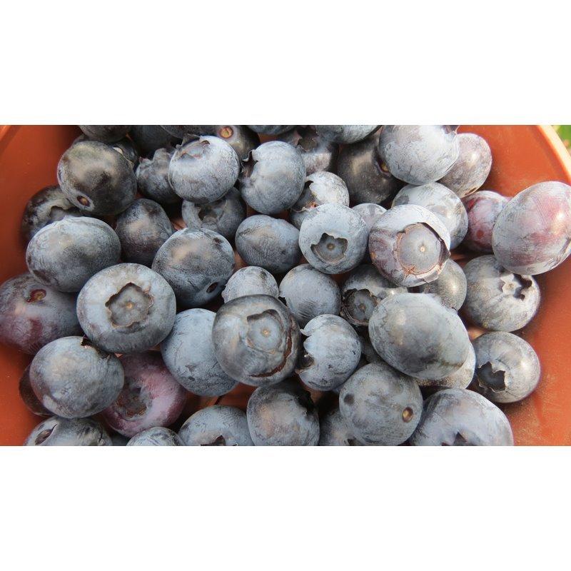 Vaccinium corymbosum Bluecrop ( amerikanische Heidelbeere, Kultur-Heidelbeere )