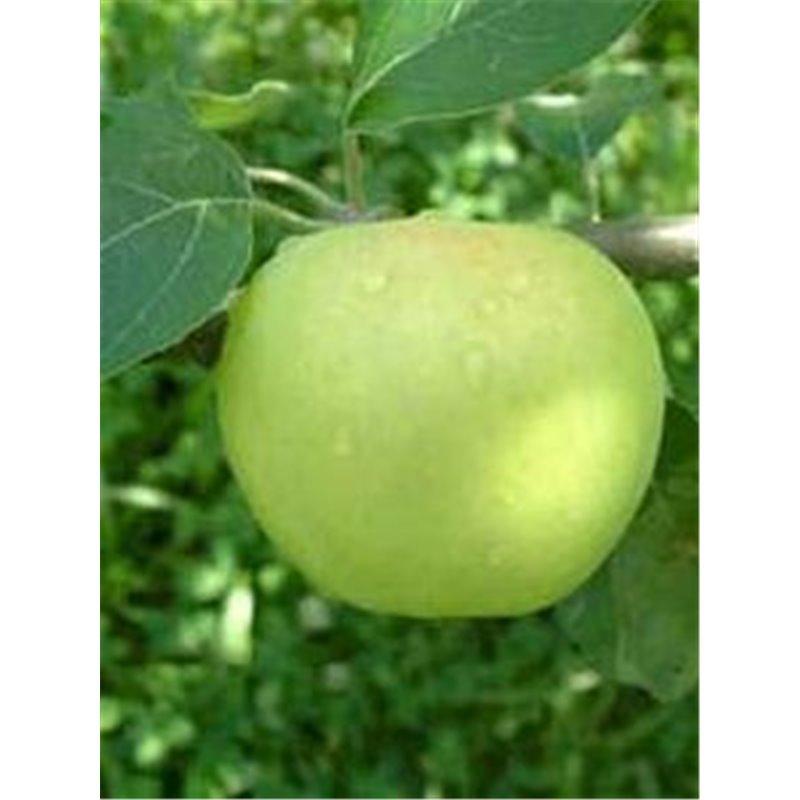 Klara-Apfel