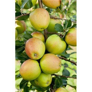 Apfel Maigold