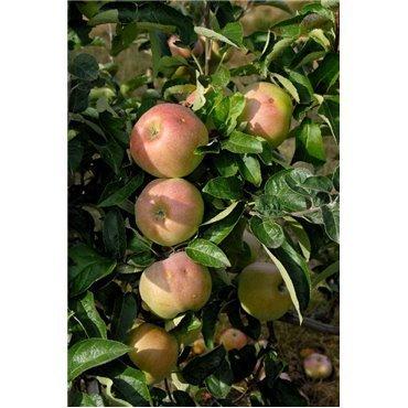 Apfel Ontario