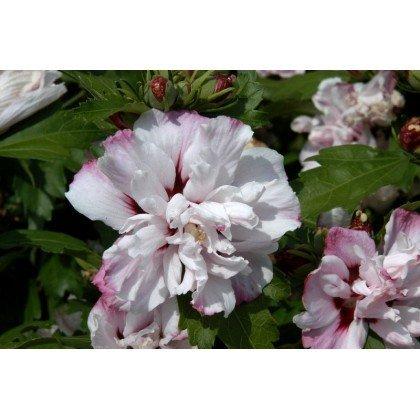 hibiscus syriacus lady stanley straucheibisch hibiskus. Black Bedroom Furniture Sets. Home Design Ideas