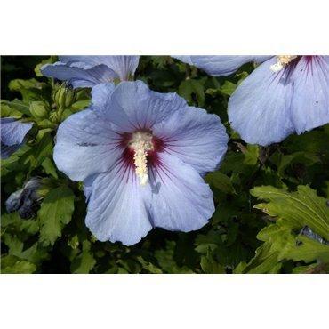 Hibiscus syriacus Oiseau Bleu (althéa)